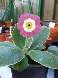 A selection of Auriculas from 2014