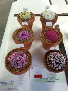 My winning entry in class 90, 6 pans of rock plants and the Greenfield Award